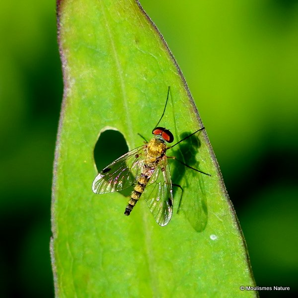 Stiletto fly (Thereva) sp.