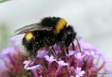 Buff/White-tailed bumblebee (Bombus terrestris/lucorum)