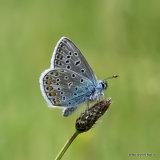 Common Blue (Polyommatus icarus) M