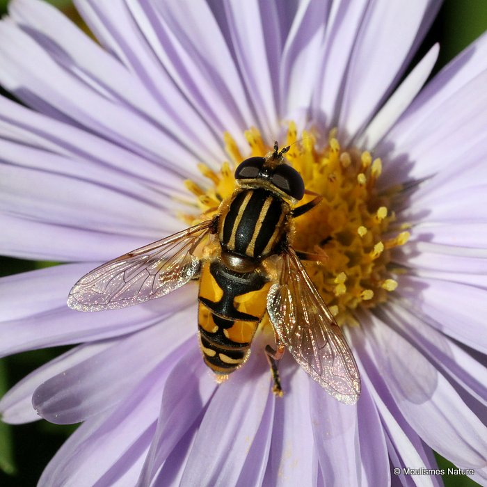 Helophilus pendulus (Common Tiger Hoverfly) M