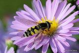 Helophilus trivittatus (Large Tiger Hoverfly) F
