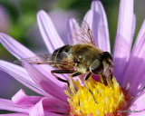 Eristalis nemorum (Stripe-faced Dronefly) F