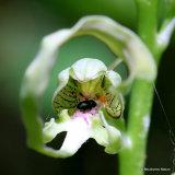 Lizard Orchid (Himantoglossum hircinum)