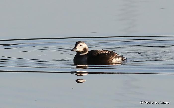 Long-tailed Duck (Clangula hyemalis) F-type, Harelde boréale