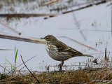 Water Pipit (Anthus spinoletta), Pipit spioncelle
