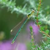 Small Emerald (Lestes virens) F-Imm