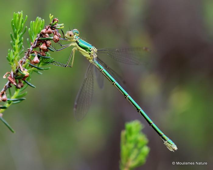 Small Emerald (Lestes virens) F