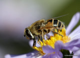 Eristalis arbustorum (Plain-faced Dronefly) F