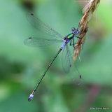 Common Emerald (Lestes sponsa) M