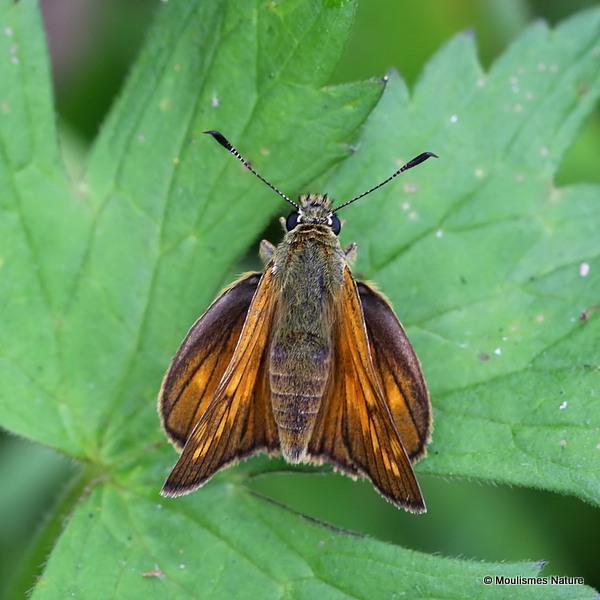 Large Skipper (Ochlodes venatus) F