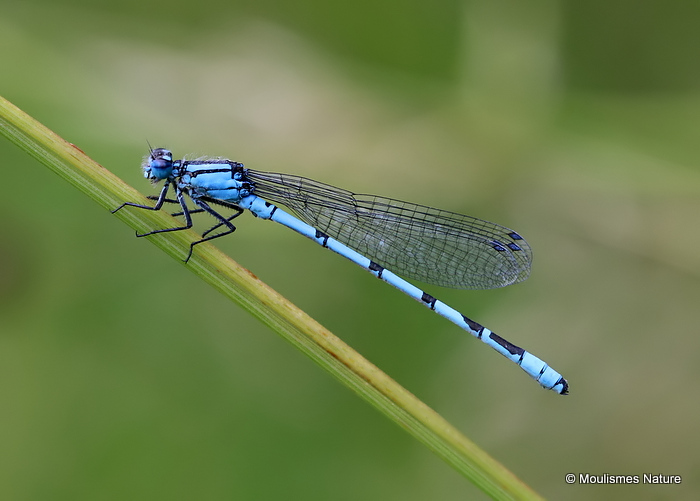 Common Blue Damselfly (Enallagma cyathigerum) M