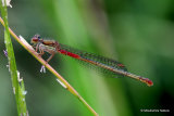 Small Red Damselfly (Ceriagrion tenellum) F