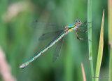 Common Emerald (Lestes sponsa) F