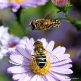 Eristalis nemorum (Stripe-faced Dronefly)