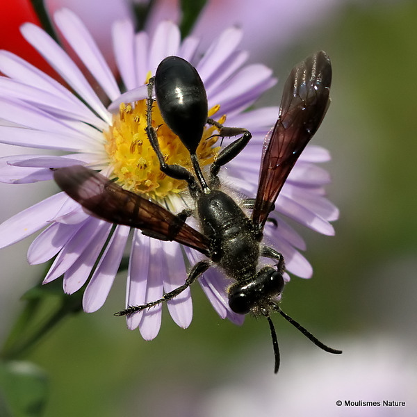 Grass-carrying Wasp (Isodontia mexicana)