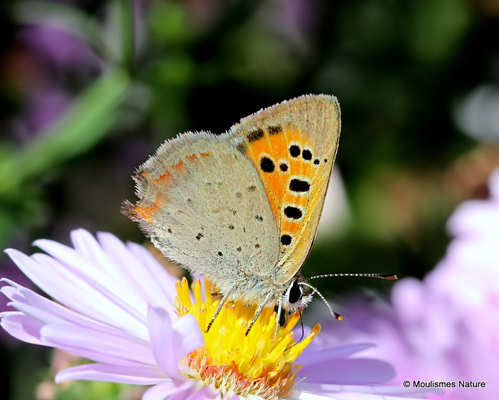 Small Copper (Lycaena phlaeas), Le Cuivre commun
