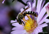 Great Banded Furrow Bee (Halictus scabiosae)