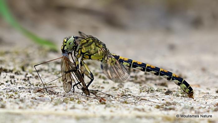 Green-eyed Hooktail (Onychogomphus forcipatus) F