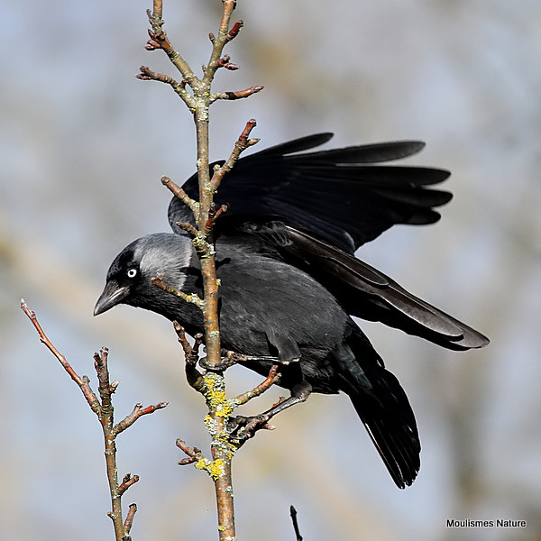 Western Jackdaw (Corvus monedula), Choucas des tours