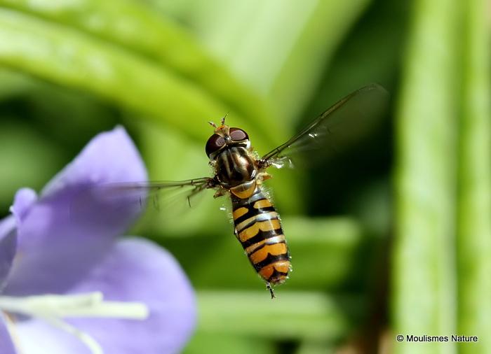 Episyrphus balteatus (Marmalade Hoverfly) F