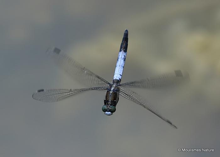 White-tailed Skimmer (Orthetrum albistylum) M