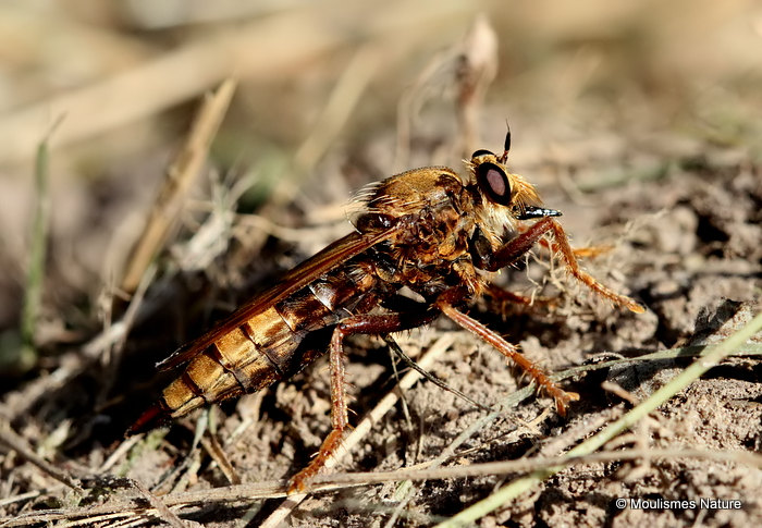 Hornet Robberfly (Asilis crabroniformis) F