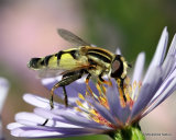Helophilus trivittatus (Large Tiger Hoverfly) M