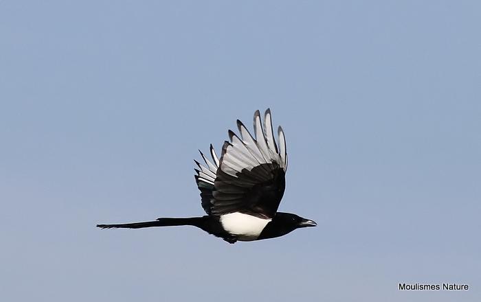 Common Magpie (Pica pica), Pie bavarde