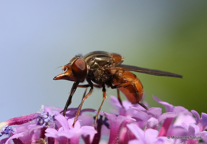 Rhingia campestris (Common Snout-hoverfly) F