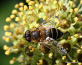 Eristalis similis (Glass-winged Dronefly) F