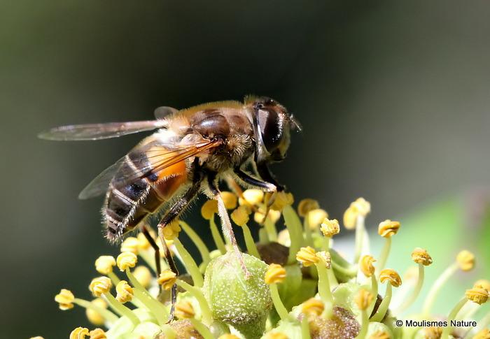 Eristalis pertinax (Tapered Dronefly) F