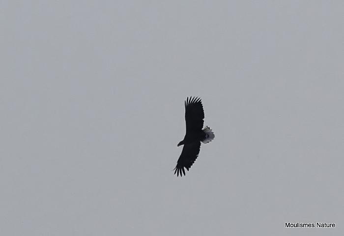 White-tailed Eagle (Haliaeetus albicilla) Ad, Pyrgargue a queue blanche