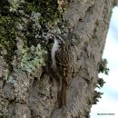 Short-toed Treecreeper (Certhia brachydactyla), Grimpereau des jardins