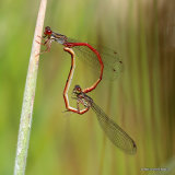 Small Red Damselflies (Ceriagrion tenellum)