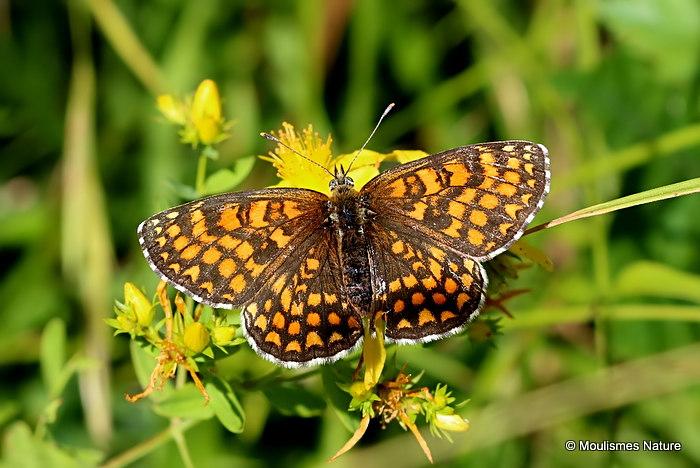 Heath Fritillary (Mellicta athalia)