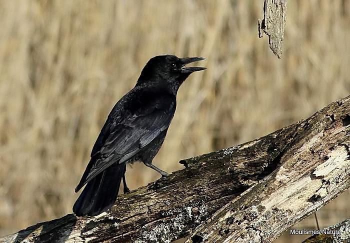 Carrion Crow (Corvus corone), Corneille noire