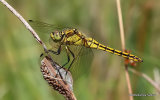Black-tailed Skimmer (Orthetrum cancellatum) F