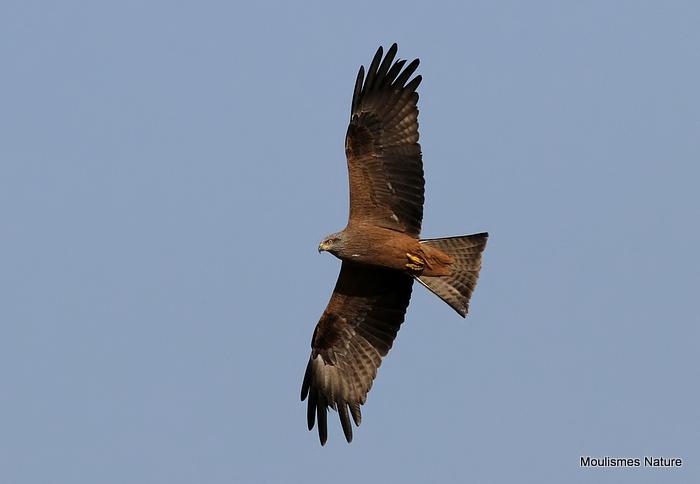 Black Kite (Milvus migrans), Milan noir