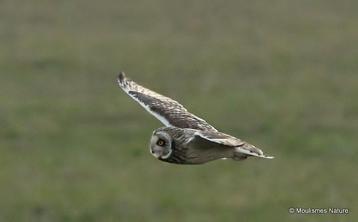 Short-eared Owl (Asio flammeus), Hibou des marais