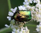 Chafer sp. (cetonia aeruginosa)