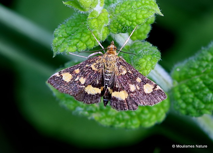 Moth sp. (Pyrausta sp)