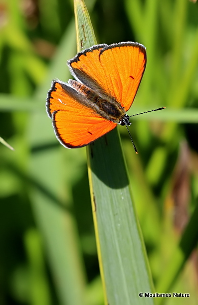 Large Copper (Lycaena dispar) M