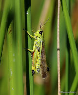 Large Marsh Grasshopper (Stethophyma grossum)