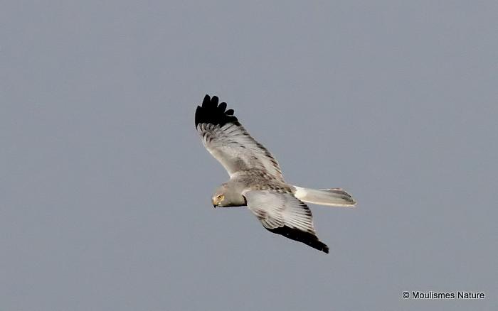 Hen Harrier (Circus cyaneus) M, Busard St-Martin