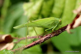 Sickle-bearing Bush-cricket (Phaneroptera falcata) F