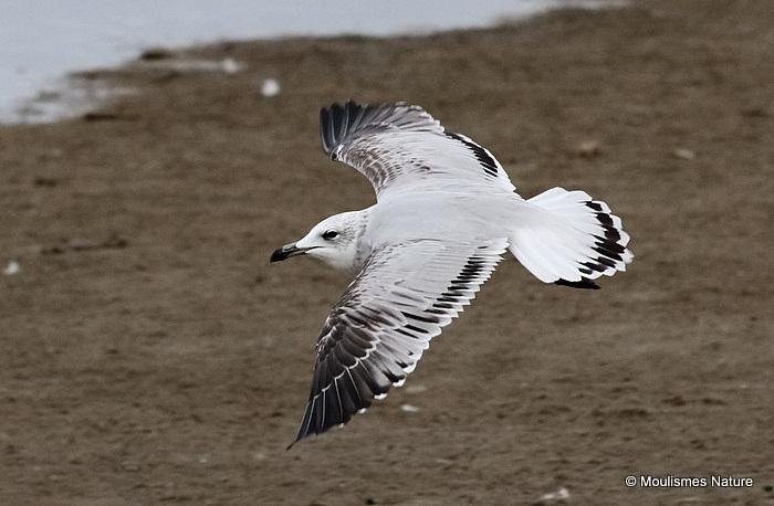 L. audouinii 2nd-winter