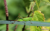 Short-winged Conehead (Conocephalus dorsalis) F