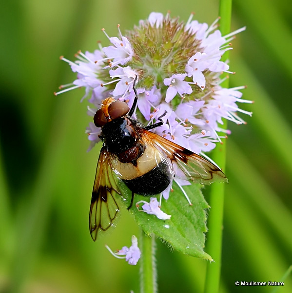Volucella pellucens (Large Pied Hoverfly) F