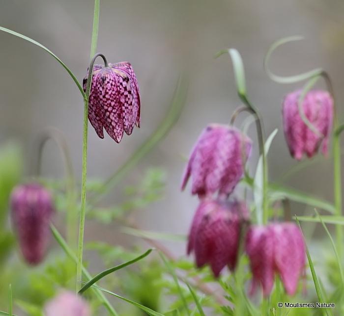 <em>Fritillaria meleagris</em>