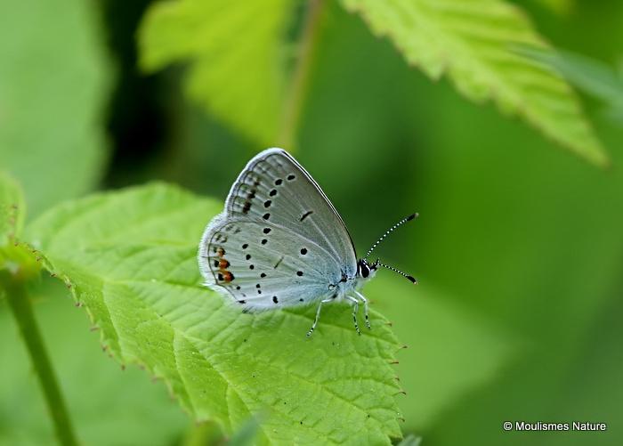 Short-tailed Blue (Everes argiades) M
